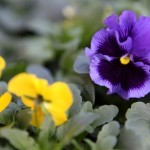 Allergy Friendly Plants and Flowers for Your Garden